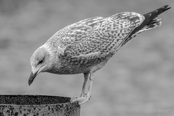 Mono Gull