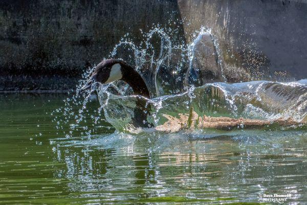 Splish Splash, Goose Is Takin a Bath