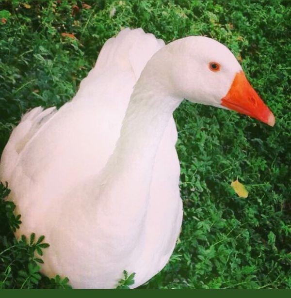 Sweden duck