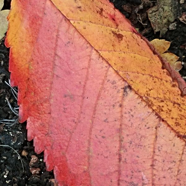 Red and yellow fall leaf