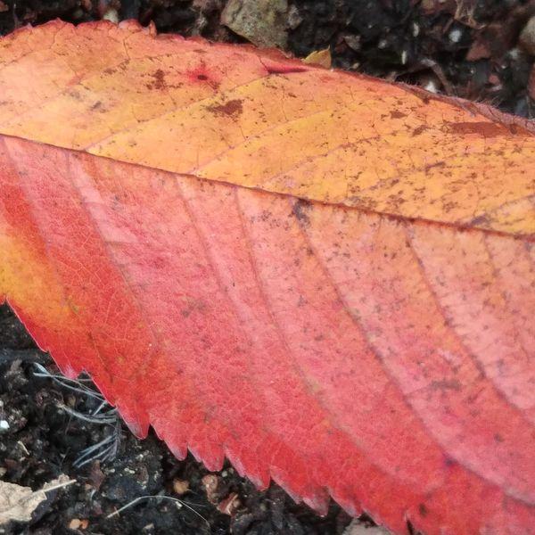 Red fall leaf