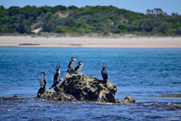 A bunch of cormorants