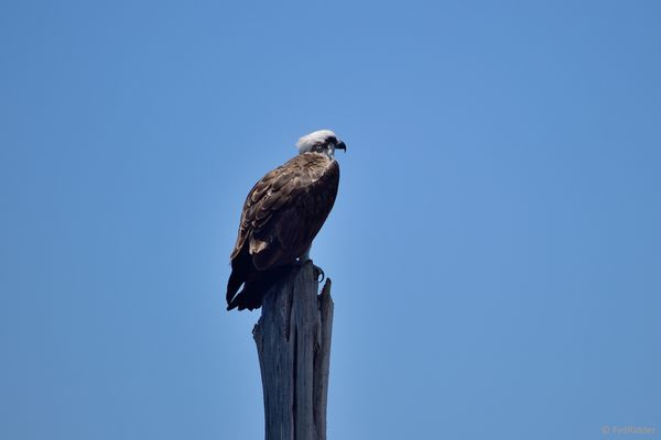 An osprey looking out for prey