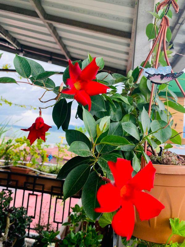 Mandevilla Flower