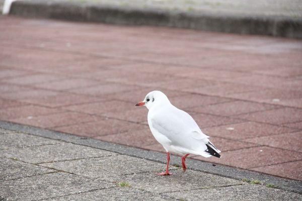 The walking Gull