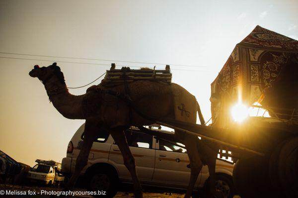 Sunset camel pushkar