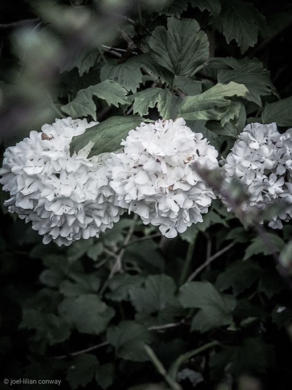 Blossoming white