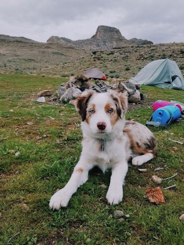 Aussie puppy camping
