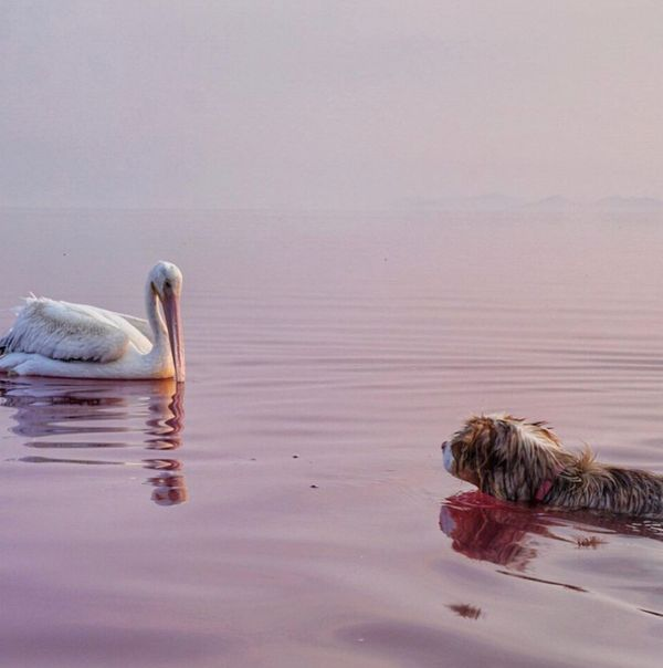 Aussie swimming with pelican