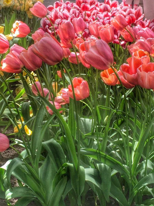 Tulips dance