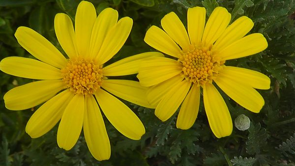 A Happy Pair of Daisies