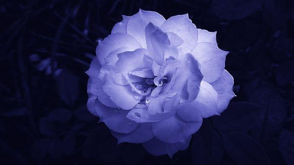 Blue tinted rose