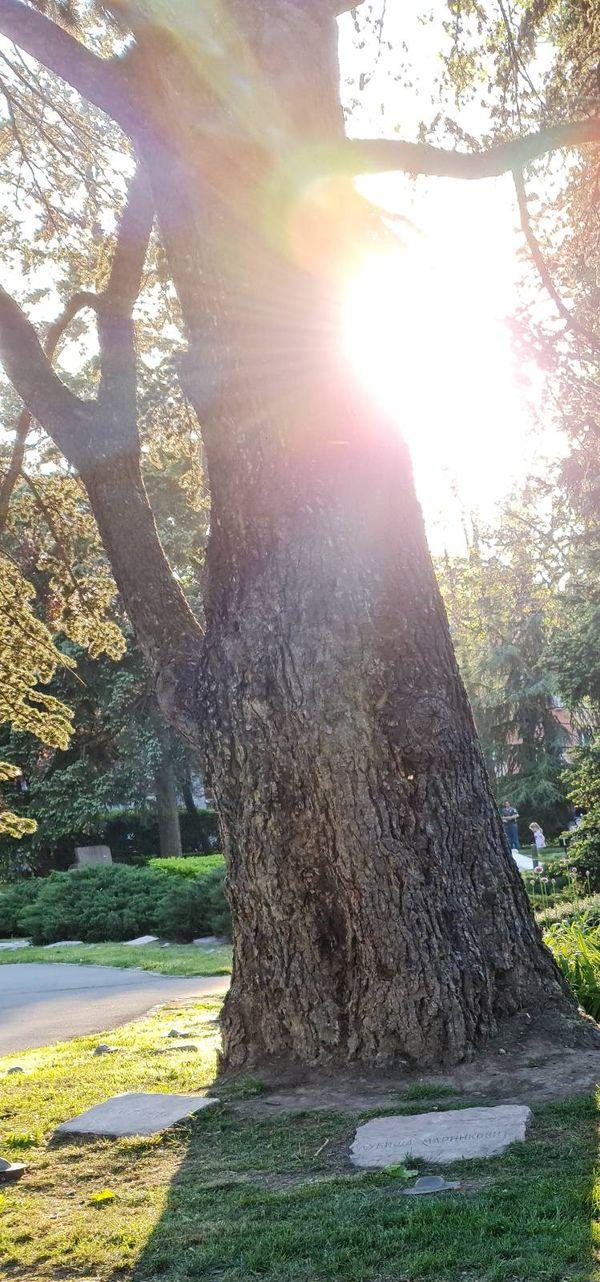 Tree and sun-V