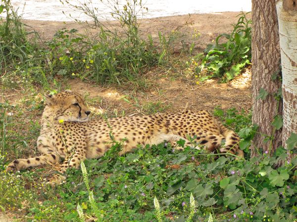 ...even Cheetah need to rest...