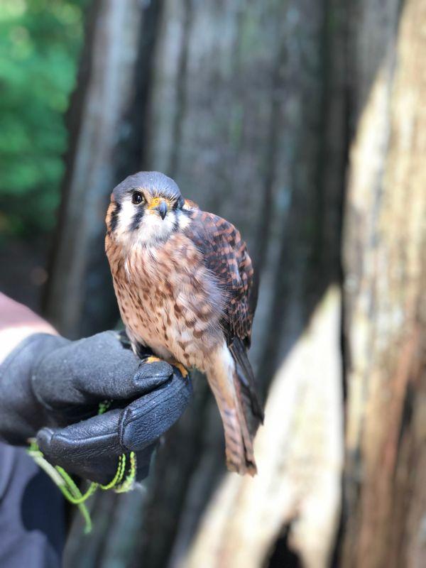 Falcon Posing