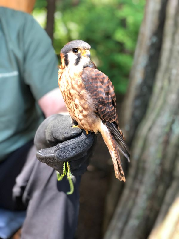 Curious Falcon