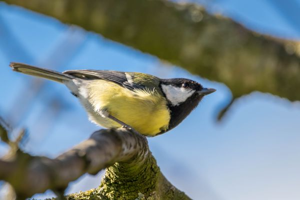 Bird in fruit tree-8360