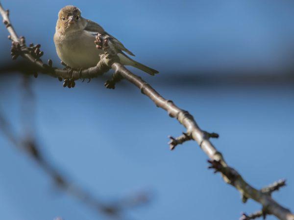 Bird in fruit tree-9930