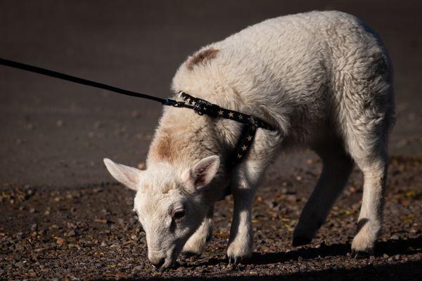 Lamb on a lead-0981