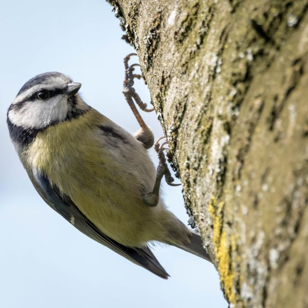 Songbird-9753