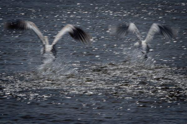 Swans take off slow shutter-1003