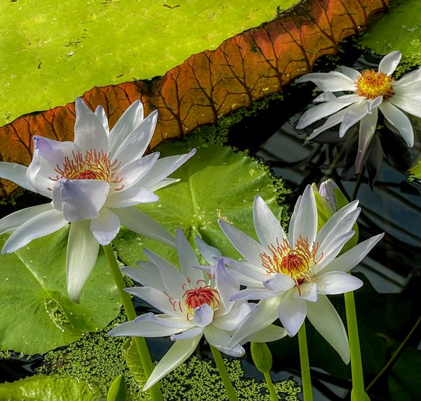 White Lotus Flowers ..Described as  Nymphaea kews Kabuki! Kew Gardens