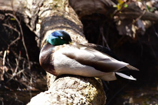 BD-Duck sleeping DSC_2387 (2)