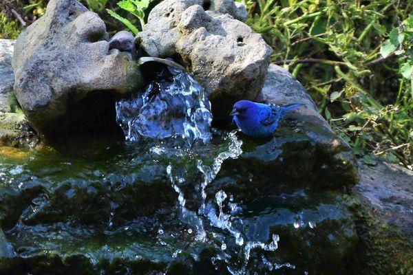 BD-Indego Bunting at waterfall crop