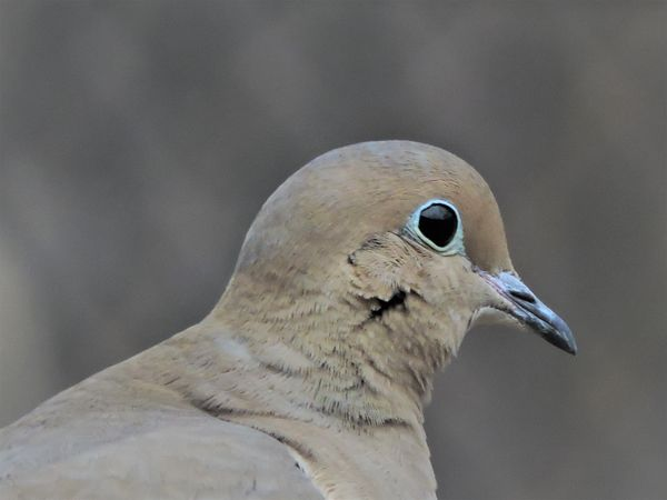 BD-Mourning Dove head