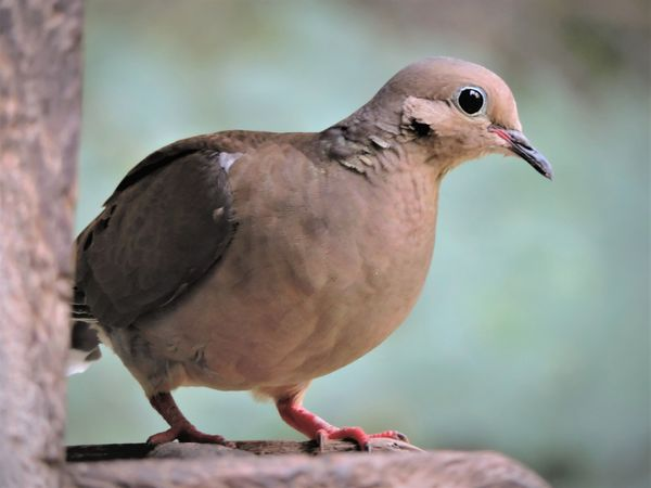 BD-Mourning Dove