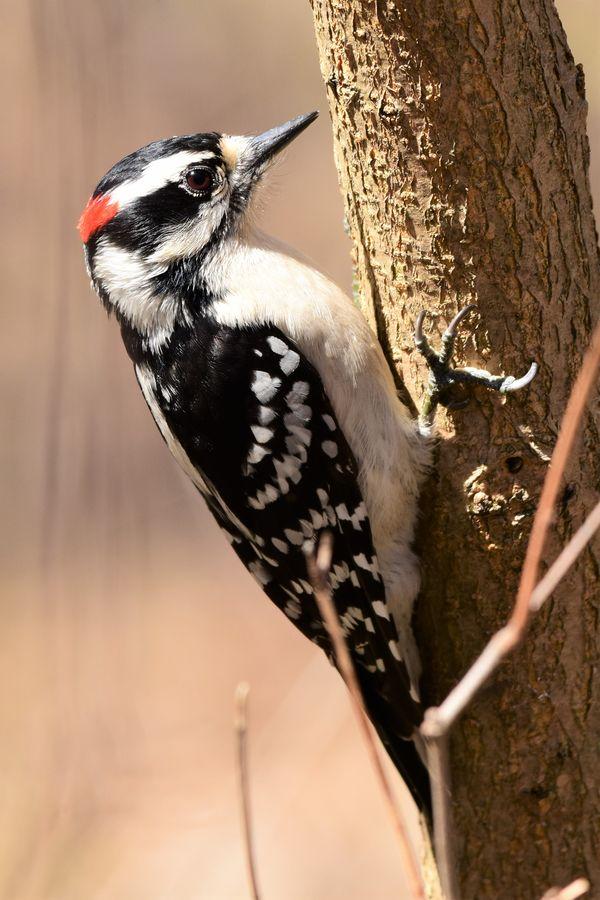BD-Woodpecker on the tree DSC_2874 (2)
