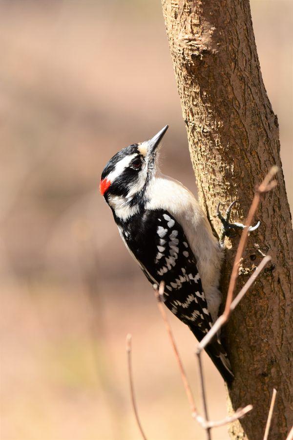 BD-Woodpecker on tree DSC_2879 (2)