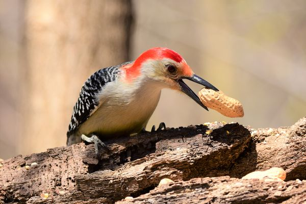 BD-Woodpecker with nut DSC_2447 (2)