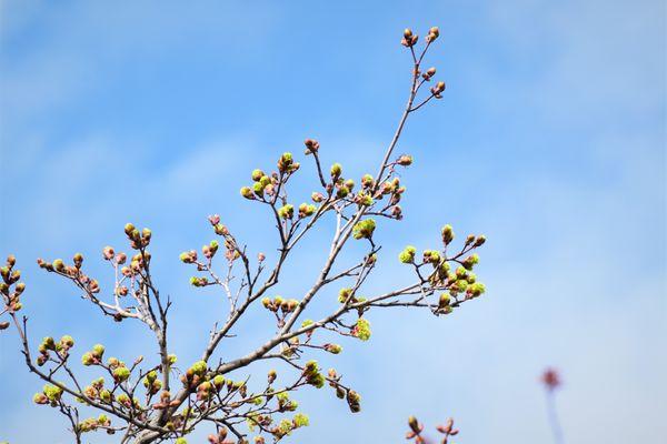 NTR-Tree Buds DSC_2331 (2)