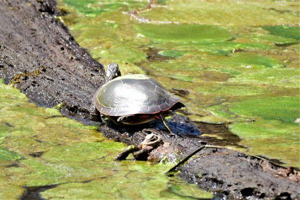 NTR-Turtle on a log DSC_2367 (2)