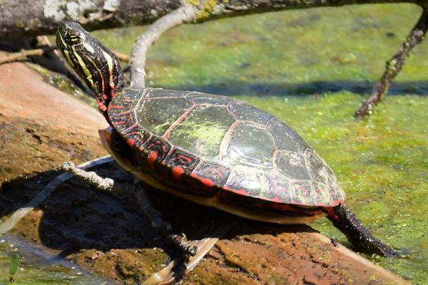 NTR-Turtle on log in sun DSC_2385