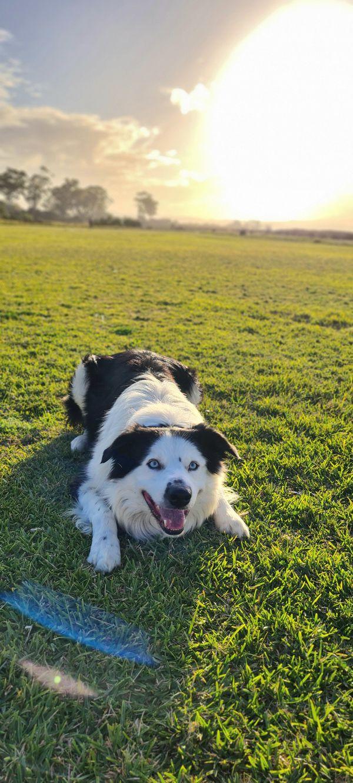 Husky & Border Collie dog - Sam