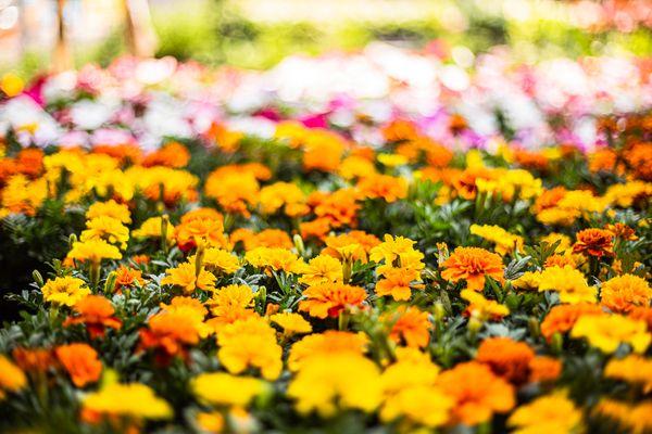 Mas Flowers