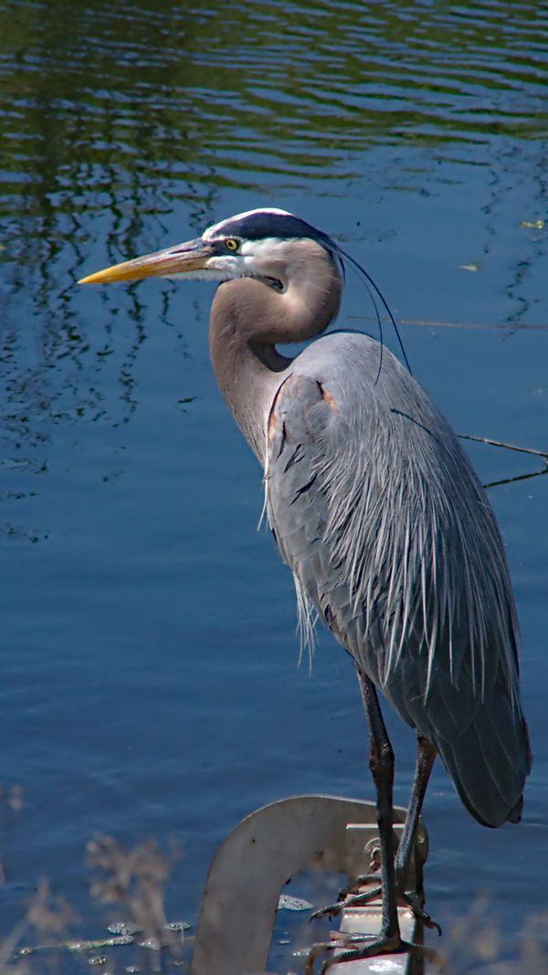 Giant Blue Heron found standing watch
