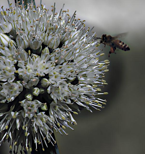 Bee servicing an onion flower