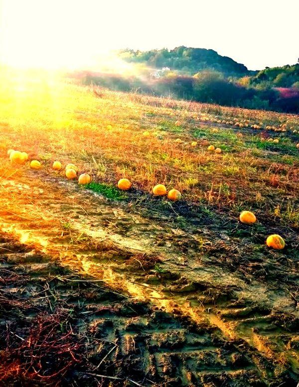 A field with a pumpkin