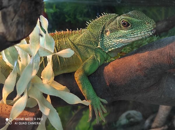 Chinese Water Dragon relaxing on branch