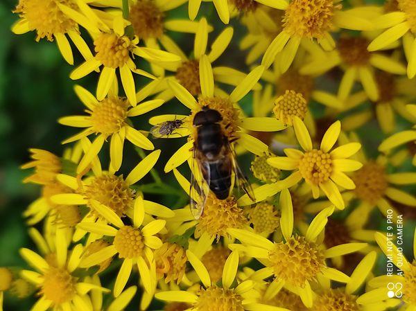 Flies on flowers