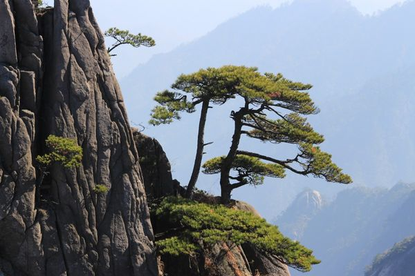 Green pines on the edge of the cliff