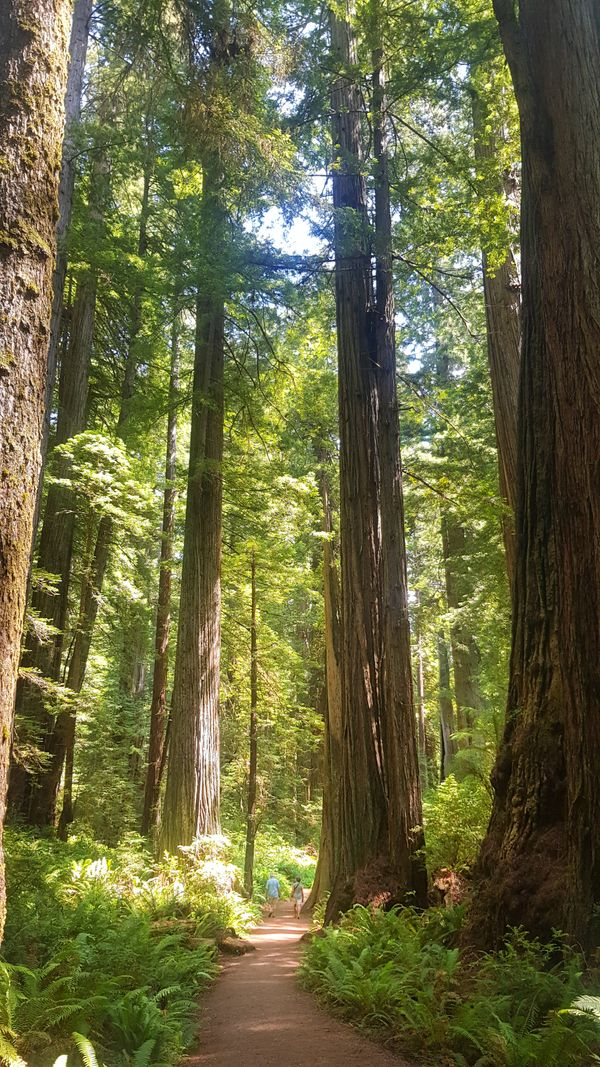 The Beautiful Redwoods