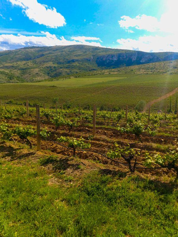 Vineyards in Skopje