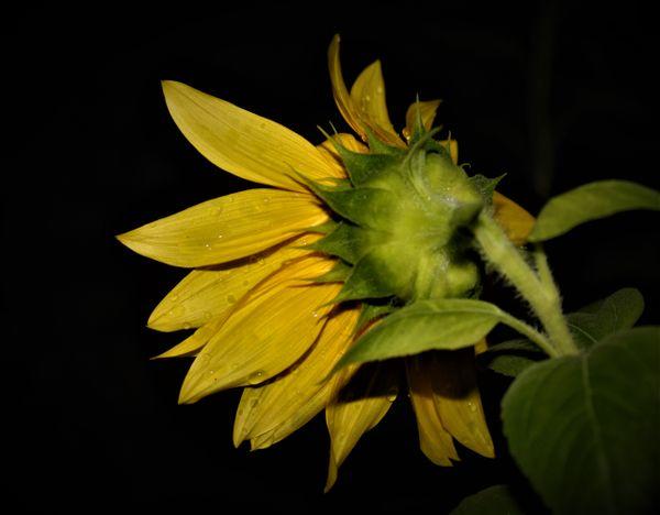 Sunflower after rain