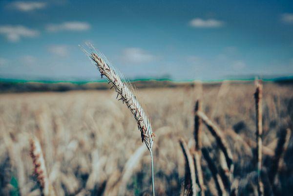 Lone wheat ear