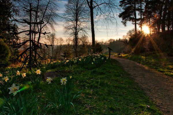 Daffodils near sunset - 2