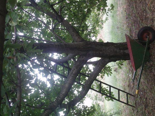 APPLE TREES-PELION GREECE